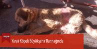 Yaralı Köpek Büyükşehir Barınağında